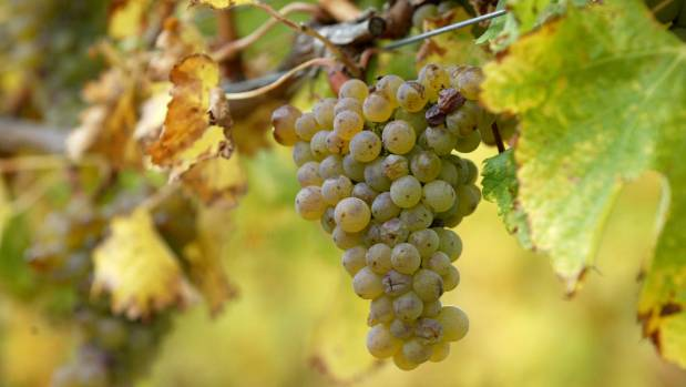 A vineyard contractor has been caught breaching employment standards (File photo).