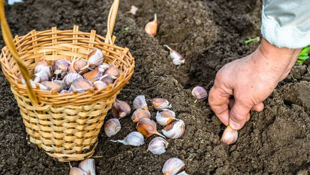 Plant garlic in free-draining friable soil to prevent the bulbs rotting.