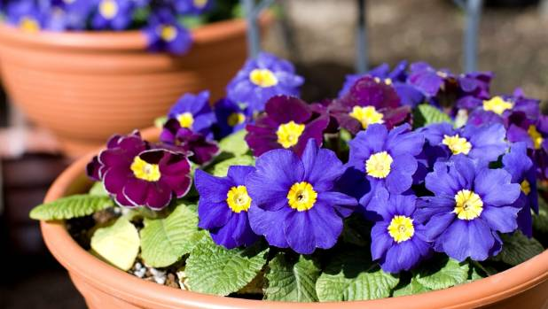Plant cheerful primroses and polyanthus where you can see them from inside on grey winter days.