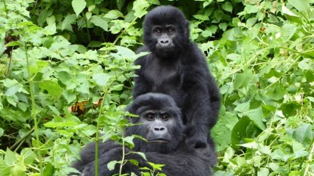 Bwindi Impenetrable Forest - home of the endangered mountain gorillas.