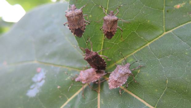 The brown marmorated stink bug is the number one biosecurity threat facing the Marlborough wine industry.