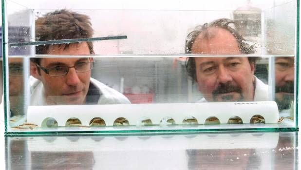 Plant and Food Research scientist Denham Cook, left, and research technologist Warren Fantham observe the blue cod juveniles.