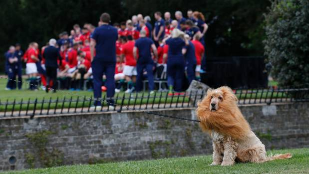 Lola the sheep dog- dressed as a Lion- sits as the Lions team prepare for a team
