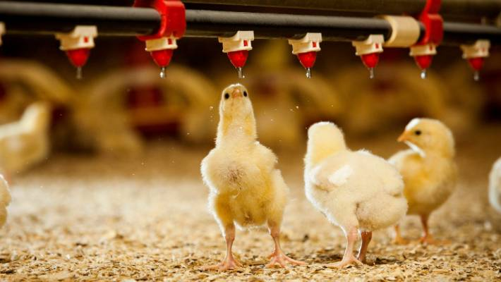 New Poultry Farm Brings 100 New Jobs To Huntly Stuff