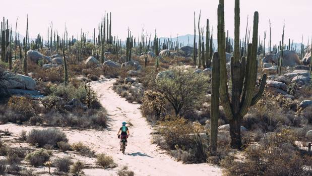 Cycling among cardon cacti, the biggest cactus on Earth, in Baja Peninsula, Mexico.