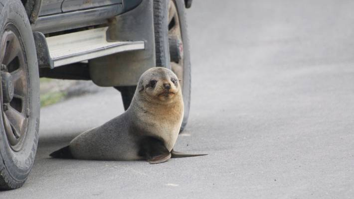 nzta and kiwirail granted permission to kill or injure seals during