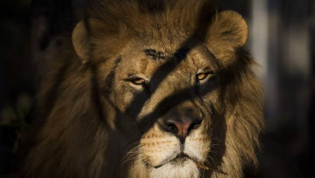 South African wildlife rangers capture four lions