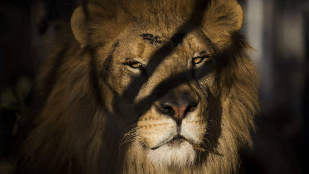 'Poetic justice': Suspected lion hunter mauled to death by pride of lions