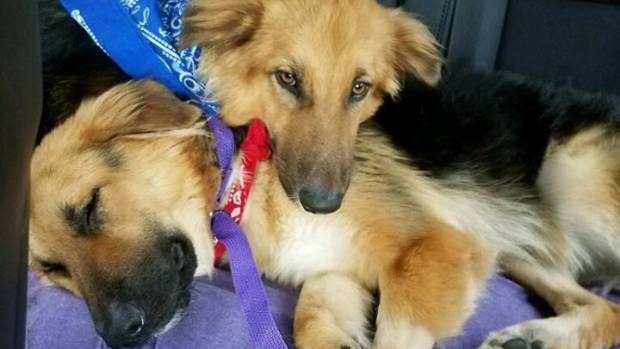 Apollo and Adonis spooning during the car ride to their new home.