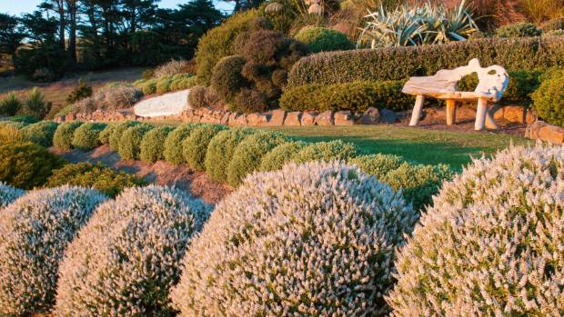 Jill's hebes have never been clipped – they grow naturally into tidy topiaries; the large white-flowered species in the ...