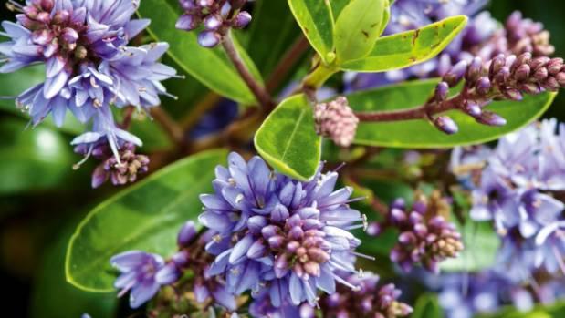 Hebe x franciscana 'Blue Gem' is very hardy.