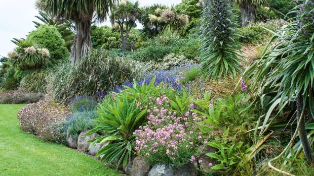 Jill combines natives with exotics; here Kiwi cabbage trees tower beside tippy-toed Canary Island tree echiums (Echium ...