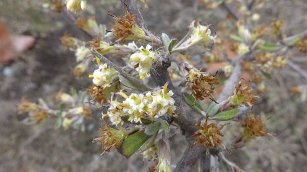 Olearia adenocarpa in flower.