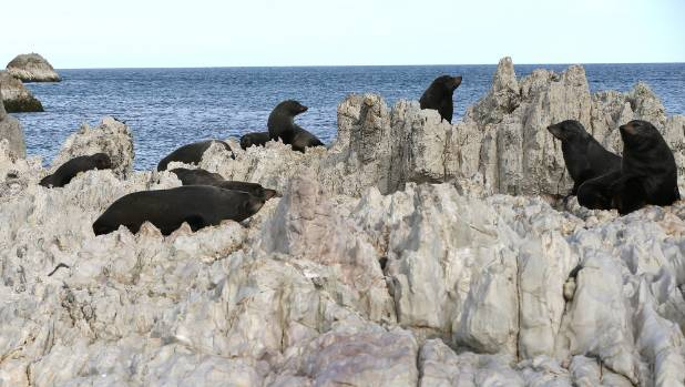 The seal colony at Chancet Rocks.