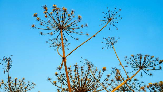 Leave some dried grasses and flowers like these dill seeds to feed the birds over winter.