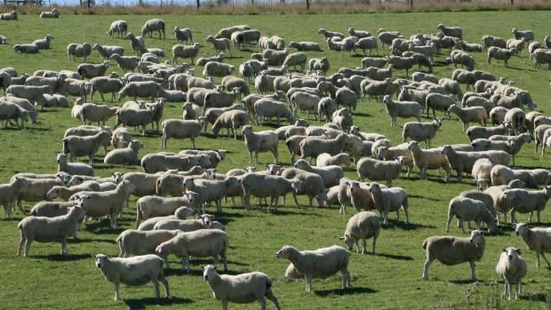 Prime ewes made good money at Christchurch livestock sales.