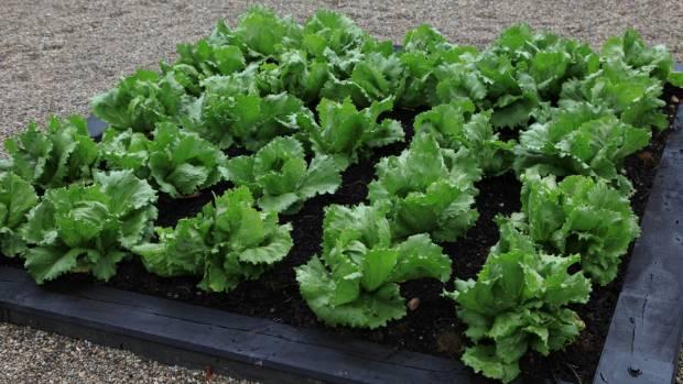Lynda Hallinan's  $168 lettuce crop.