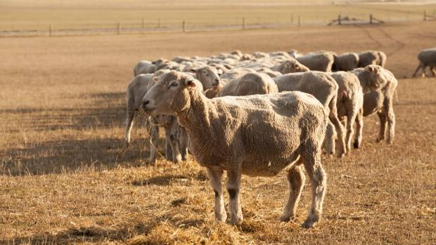 Corriedale's still provided wool and store lambs to sell through the North Canterbury drought, said Peter McCusker.