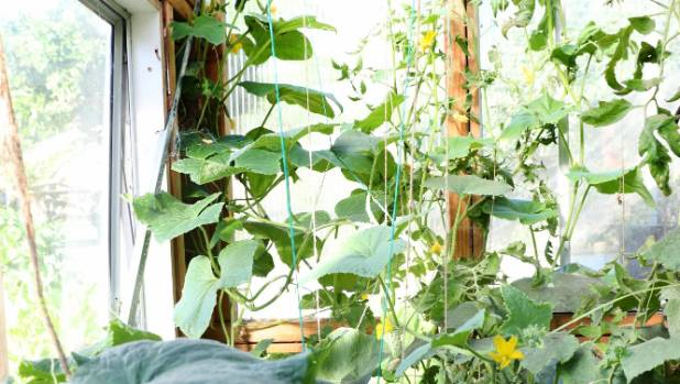 Cucumbers growing up strings in a glasshouse.
