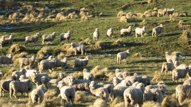 The coarser end of the halfbred wool market has slipped back since the highs of the last couple of years.