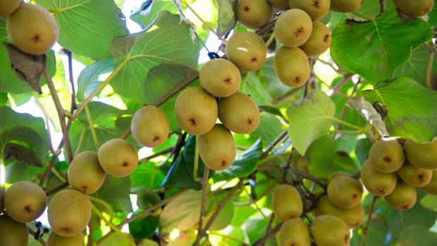 Mark Gardiner is expecting about 15,000 trays of gold kiwifruit to be picked this season.