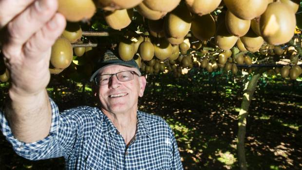 Mark Gardiner checks out this year's crop of gold kiwifruit on one of his blocks at Whitehall Orchards.