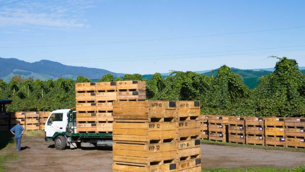 Kiwifruit at Whitehall is loaded into crates for shipment to the packhouse. In the background are teepees that will grow ...