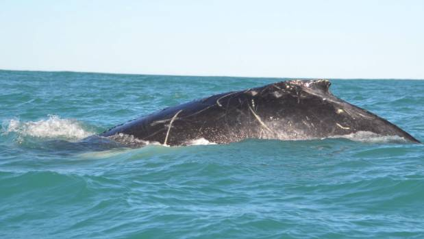 The first humpback whale of the year was spotted in Akaroa Harbour on Monday, delighting tourists.