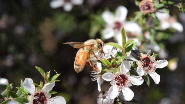 Controlling myrtle rust on nursery grown manuka should be easier