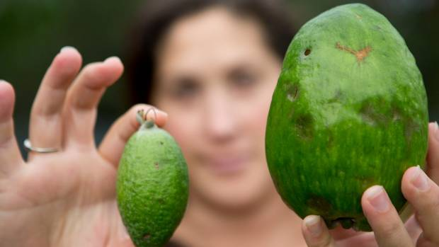 Rachel Harrison believes they have a feijoa to rival the world record.