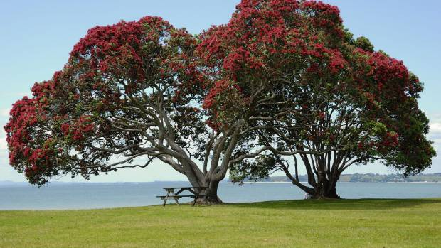 The pohutukawa - or Kiwi Christmas tree - has come through a tough conservation battle. Now it faces a new threat.