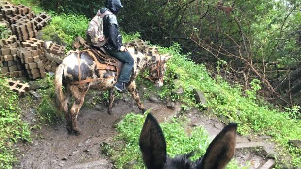 Even in treacherously rainy conditions, the mules are marvellously sure-footed.