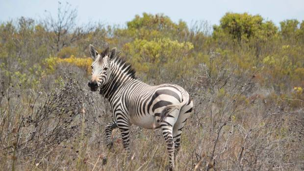 I took this photo of a young male zebra which had been chased out of the herd by the dominant male. It was reluctantly ...