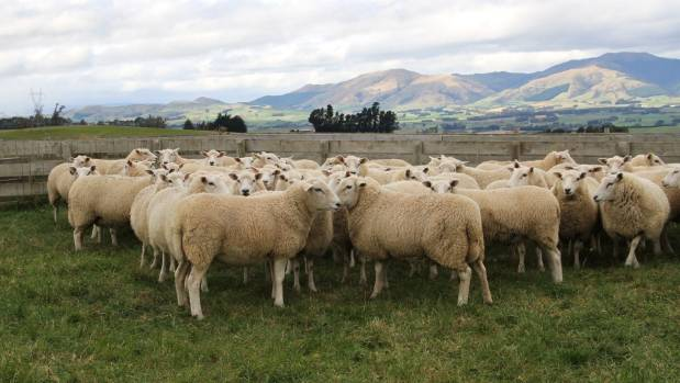 The Ashburton job losses have occurred as sheep farming continues to decline in New Zealand.