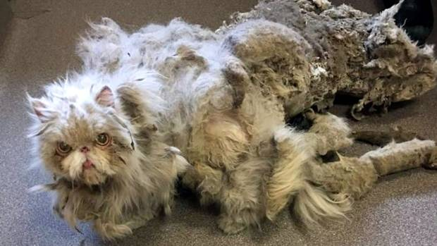 This is how Sinbad looked when first rescued, more than 2kg of matted fur dragging behind him.