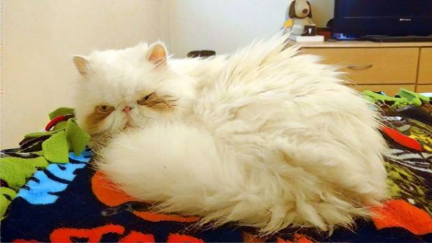 How a Persian cat is meant to be: Sinbad is now in his hairy, healthy prime.