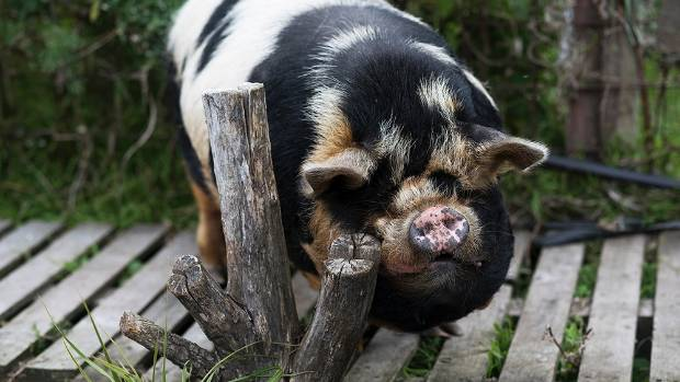 Kunekune pig, George, eats the household's scraps and is the children's playmate.