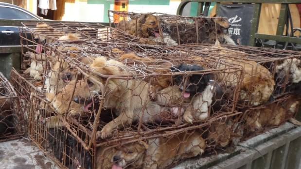Dogs in cages for the meat trade in China.