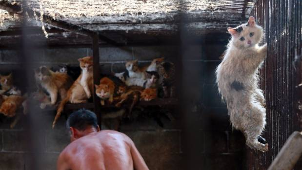 A cat, later rescued by the Humane Society International, climbs up a cage in a slaughterhouse.