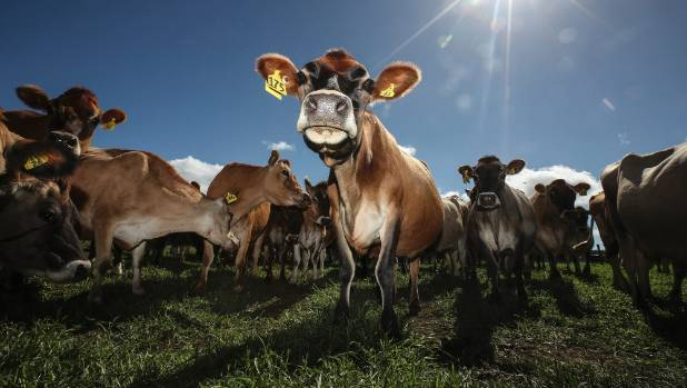 How does a farmer toilet train 500 cows while extracting a food product at the same time?