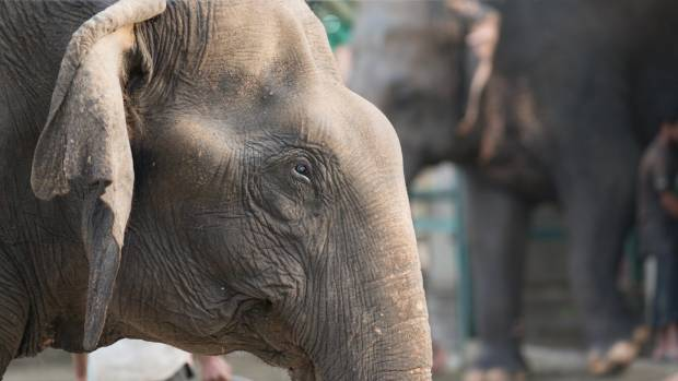Some of the elephants at Wildlife S.O.S have been intentionally blinded by their former owners to make them easier to handle.