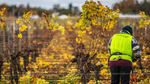 It's been a cool season for grape growers.