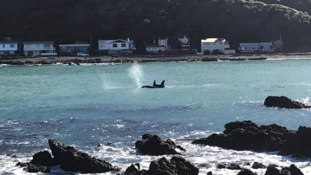 An orca blows spray in Owhiro Bay.