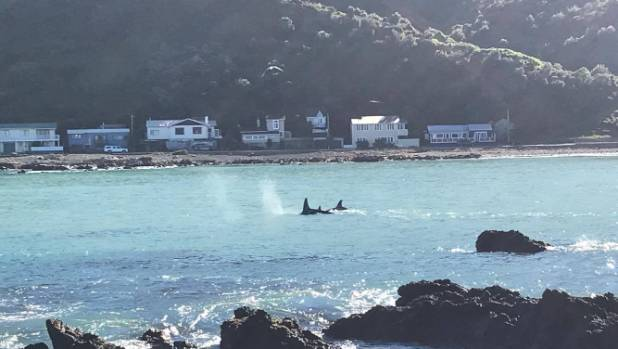 The pod of killer whales in Owhiro Bay heading west to Makara.