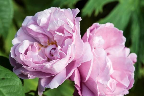 David Austin's 'Mary Rose'.