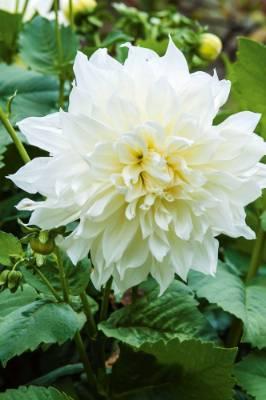 Dahlia 'Fleurel'.