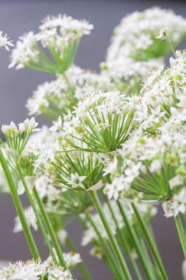 Allium neapolitanum.