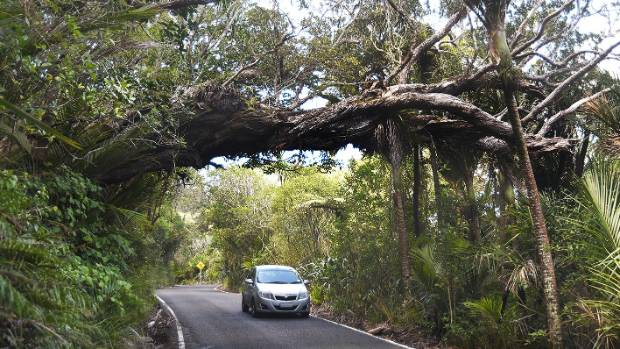 Well-loved Archie on the road to Karekare is one of many pohutukawa in the Waitakere Ranges that could be affected.