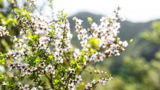 The Waitakere Ranges is full of manuka.