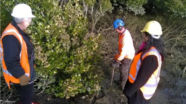 Mangrove removal in Manukau Harbour.